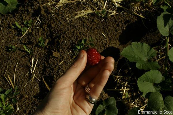 Ramener la fraise