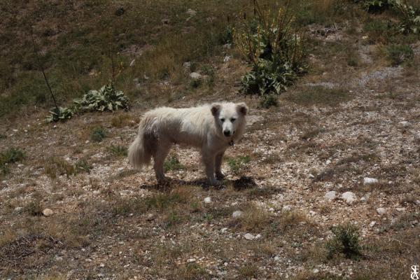 Il cane del pastore