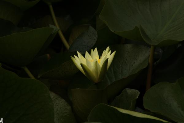 Le Lotus Caché