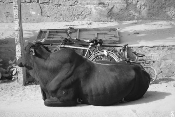 Une vache paisible