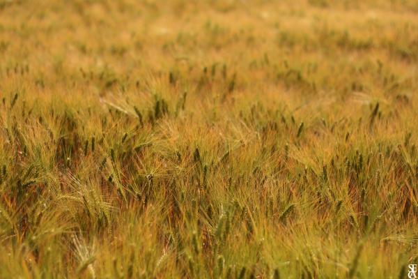 L'or blé