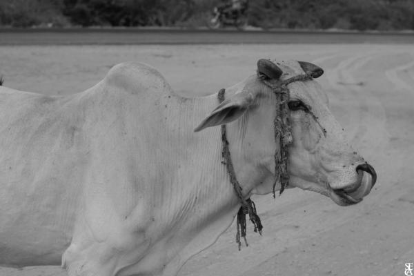 Une vache paisible encore