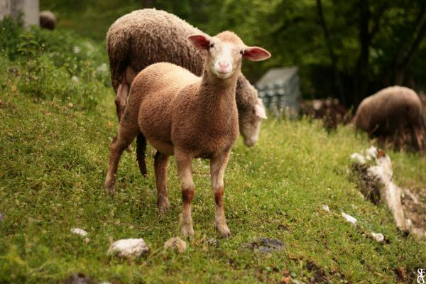 Le doux regard de l'agneau