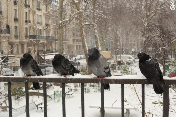 Le froid des pigeons